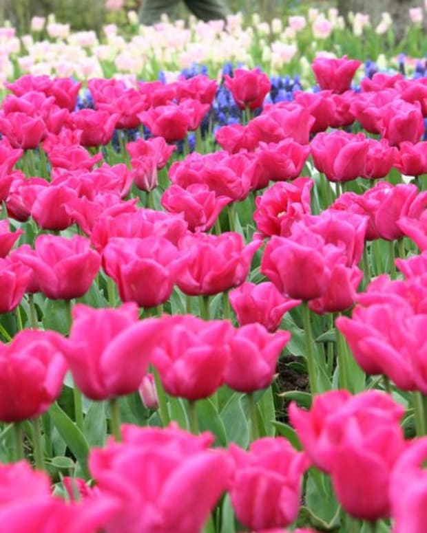 Op-ed - Tulip Mania and Why It Has Nothing To Do With Bitcoin